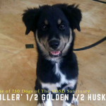 Killer: Half husky half golden retriever