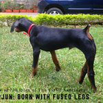 Arjun: VOSD Doberman with deformed legs